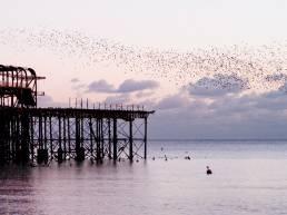 Flocking birds in Brighton