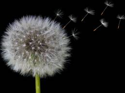 Dandelion clock with seeds - is your top talent leaving?